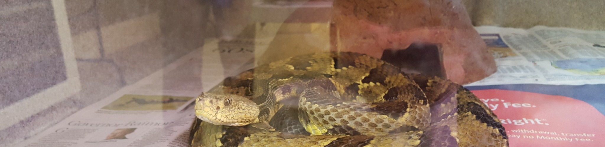 This timber rattlesnake is being raised at the Roger Willam's Park Zoo in Rhode Island. It's babies will help bolster the population in Massachusetts