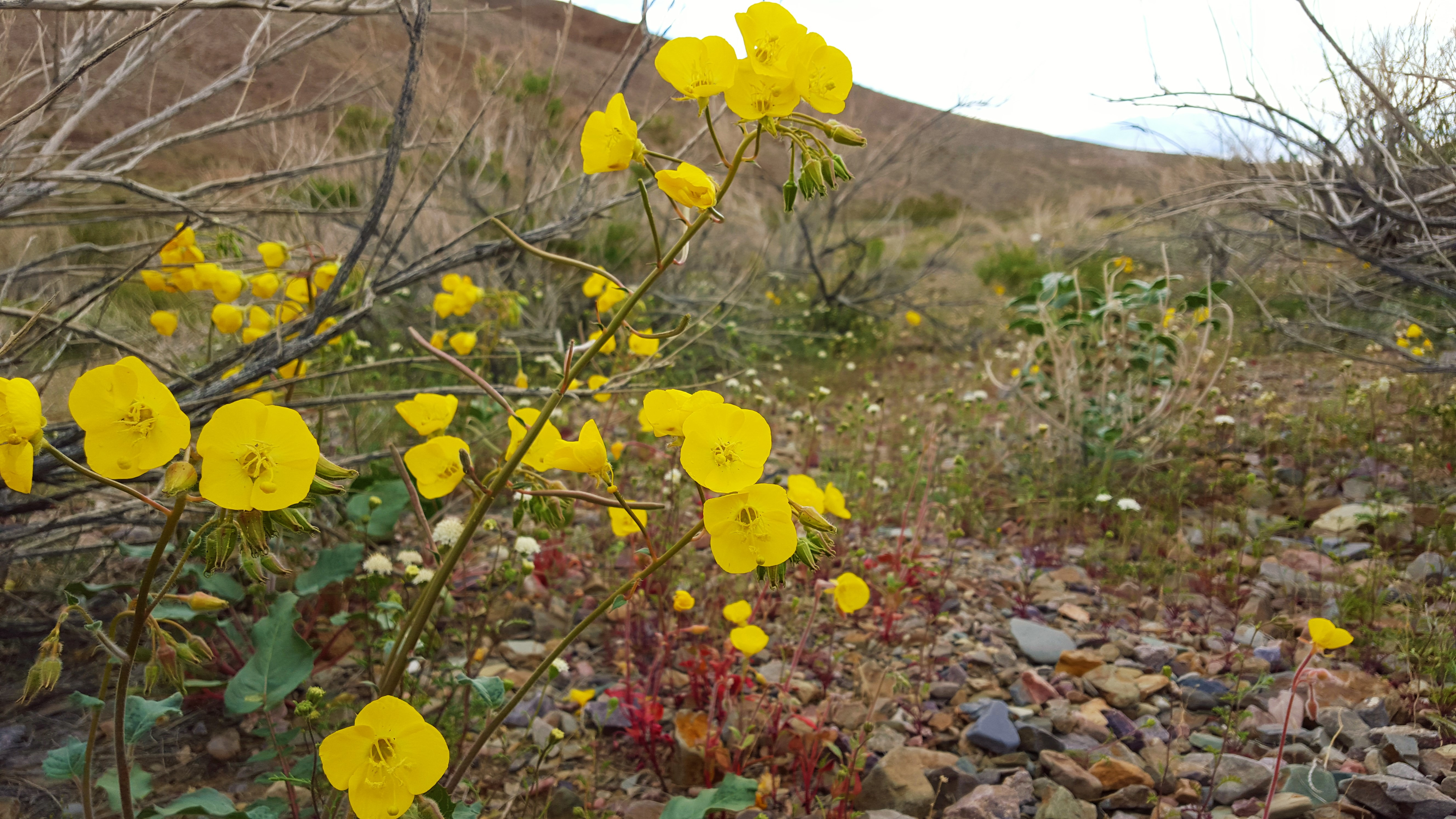 Golden Evening Primrose (Camissonia brevipes)