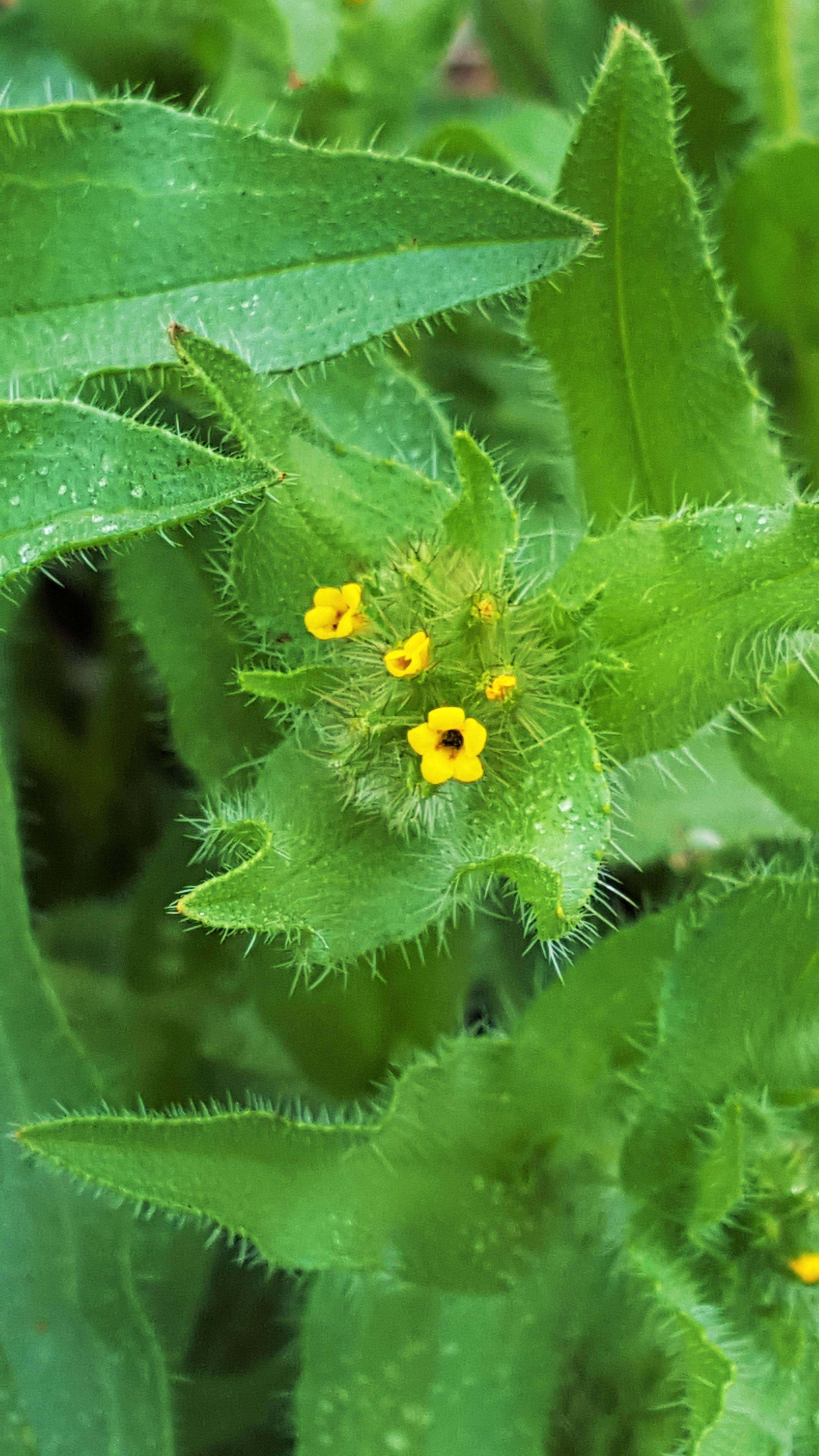 bristly fiddleneck (Amsinckia tessellata)